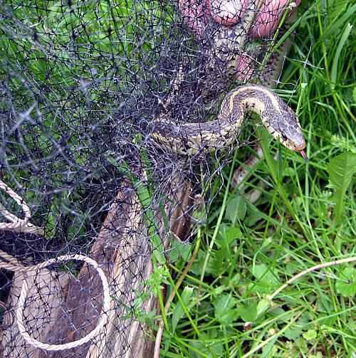 garter_snake_in_deer_fencing