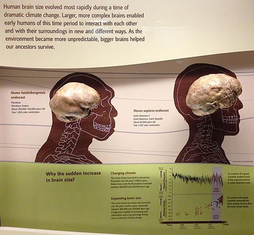 human_brain_size